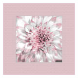 Dahlia Pinks 6 Poster by Suzanne Foschino