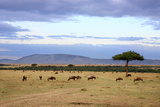 Wildebeest Herd in the Beautiful Plains of the Masai Mara Reserve in Kenya Africa Photo by  OSTILL