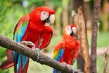 Parrots: Scarlet Macaw (Ara Macao) Prints by  zanskar