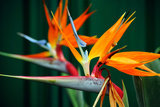 Strelitzia, the Bird of Paradise Flower, is A Genus of Five Species of Perennial Plants, Native to Photographic Print by Milleflore Images