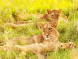 Photo of an African Lion Cubs , South Africa Safari, Kruger National Park Reserve, Wildlife Safari, Print by Anna Omelchenko