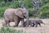 Baby African Elephants and Mom Print by Four Oaks