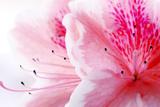 Pink Azalea Flower Photographic Print by  Yulia