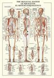 Skjelettsystemet Plakat