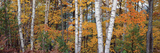 Halfmoon Birches Prints