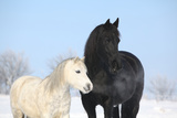 Black Horse and White Pony Together Prints by  Zuzule