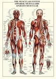 Lidské svaly Plakáty