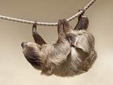 Two-Toed Sloth in Zoo Photo by  egal