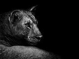 Lion Photographic Print by  Donvanstaden