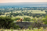 Lion Lying on Rocks and Roars on Savanna at Sunset. Safari in Serengeti, Tanzania, Africa Print by PHOTOCREO Michal Bednarek