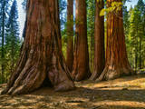 Mariposa Grove, Bachelor and Three Sisters, Yosemite Photographic Print by Anna Miller