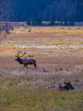 Elk in Rocky Mountain National Park, Colorado,USA Photographic Print by Anna Miller