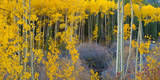 Bright Yellow Aspens Along Cotonwood Pass, Rocky Mountains, Colorado,USA Photographic Print by Anna Miller