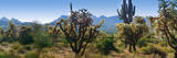 Panorama of Arizona's Desert Cactus. Photographic Print by Anna Miller