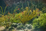 Arizona Desert, Ocotillo Plants Photographic Print by Anna Miller