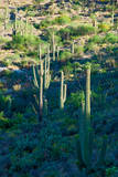 Saguaro Cactus, Saguaro National Park, Arizona,USA Photographic Print by Anna Miller