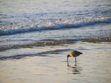 Coastal Bird, Morro Bay Coast Photographic Print by Anna Miller