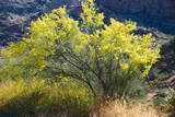 Palo Verde in Arizona Desert Photographic Print by Anna Miller