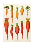"Carrots and Turnips: from the ""Album Benary"" Tab. XIV Giclee Print by G. Severeyns"