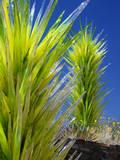 Cichuly Glass Sculpture, Phoenix Botanical Gardens, Arizona,USA Photographic Print by Anna Miller