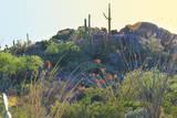 Arizona Desert Plants,USA Photographic Print by Anna Miller