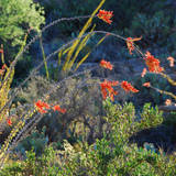 Arizona Desert Plants,USA Photographic Print by Anna Miller