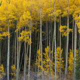 Autumn Aspens Along Cottonwood Pass, Rocky Mountains, Colorado,USA Photographic Print by Anna Miller