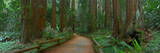 Old Growth Coast Redwood, Muir Woods National Monument, San Francisco Bay Area Impressão fotográfica por Anna Miller