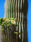 Blooming Saguaro Cactus Photographic Print by Anna Miller