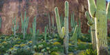 Saguaro Cactus in Arizona Desert Photographic Print by Anna Miller