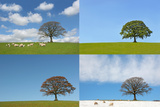 Four Seasons of the Oak Tree Photographic Print by  marilyna