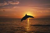 Dolphin Fotografisk trykk