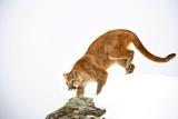 Puma Photographic Print