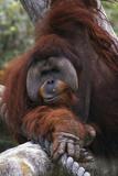 Orangoutang Photographic Print