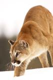 Puma Lámina fotográfica