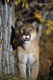 Mountain Lion Photographic Print