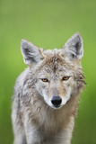 Coyote Photographic Print