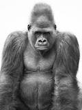 Gorilla Fotografisk tryk