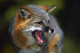 Gray Fox Photographic Print