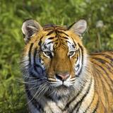 Tiger Reprodukcja zdjęcia