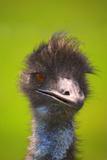 Emeus Reproduction photographique
