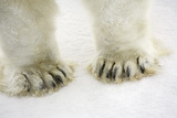 Polar Bear Paws Photographic Print