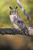 Horned Owl Photographic Print