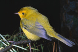 Canary Bird Photographic Print