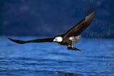 Águila calva Lámina fotográfica