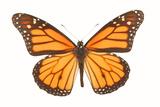 Monarch Butterfly Fotografisk tryk