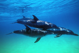 Delfiner Fotografisk trykk