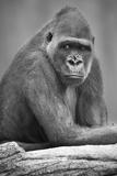 Gorilla Fotografisk trykk