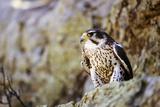 Faucon Reproduction photographique