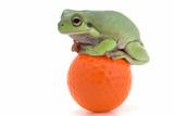 Frog on a Golf Ball Fotografisk tryk